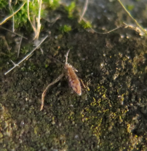 Entomobrya intermedia