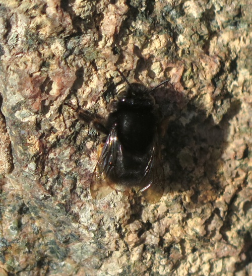 Hairy-footed Flower Bee Anthophora plumipes