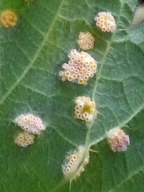 Puccinia urticata - Peter Smith - Misterton Marshes - 01 May 2017