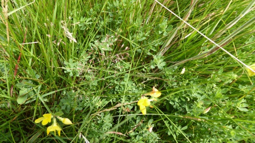 Common Bird's-foot-trefoil Lotus corniculatus
