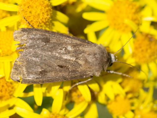Heart and Dart Agrotis exclamationis
