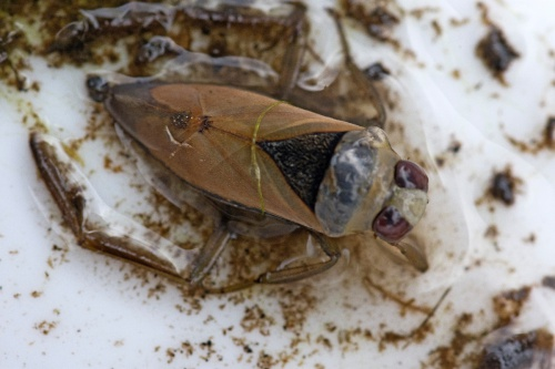 Common Backswimmer Notonecta glauca