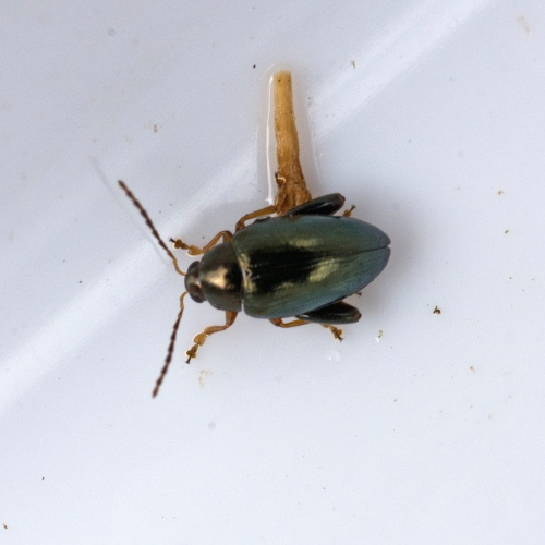 Cabbage-stem Flea Beetle Psylliodes chrysocephala