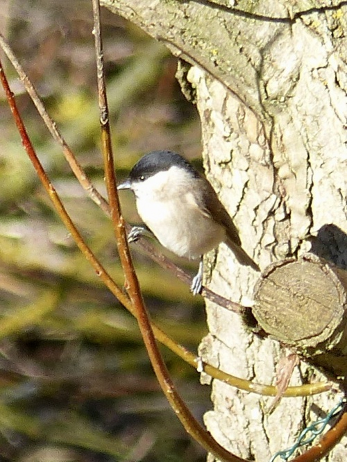 Marsh Tit Poecile palustris
