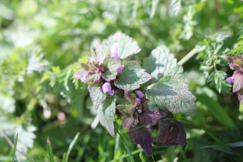 Red Dead-nettle Lamium purpureum