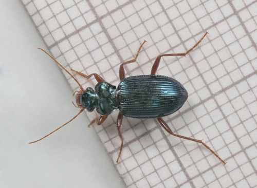 Leistus spinibarbis