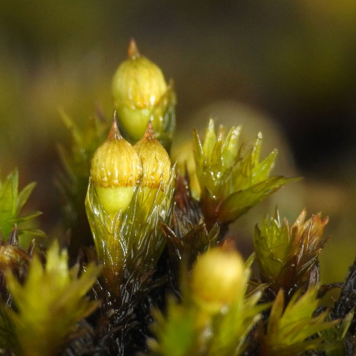 Hooded Bristle-moss Orthotrichum cupulatum