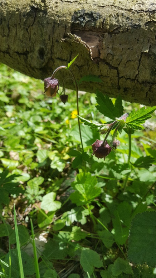 Water Avens Geum rivale