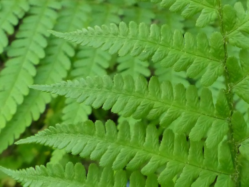 Male-fern Dryopteris filix-mas