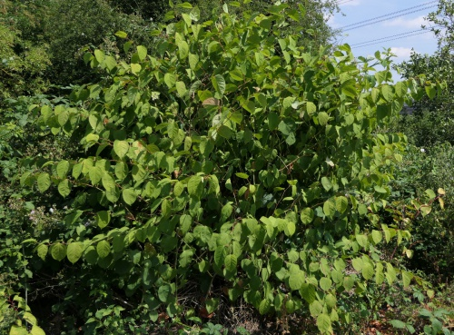 Japanese Knotweed Fallopia japonica