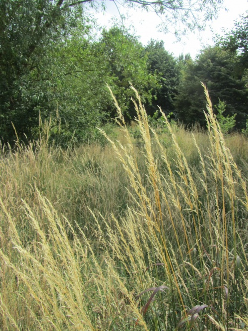 False Oat-grass Arrhenatherum elatius