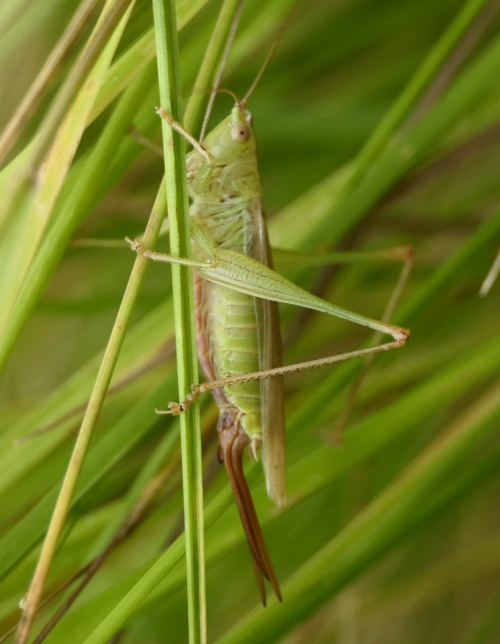 Long Winged Cone-head Conocephalus fuscus