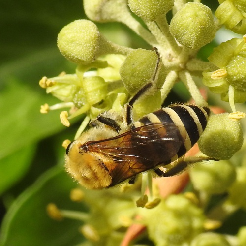 Ivy Bee Colletes hederae