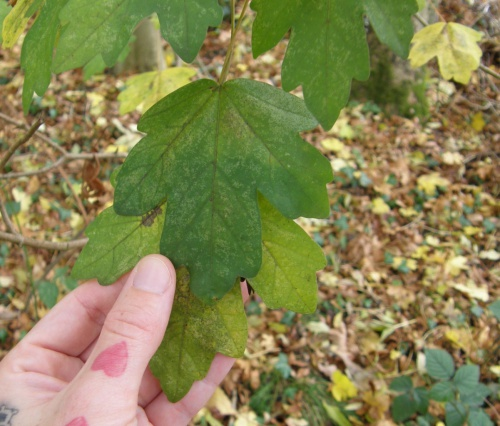 Field Maple Acer campestre