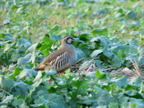 Red-legged Partridge Alectoris rufa