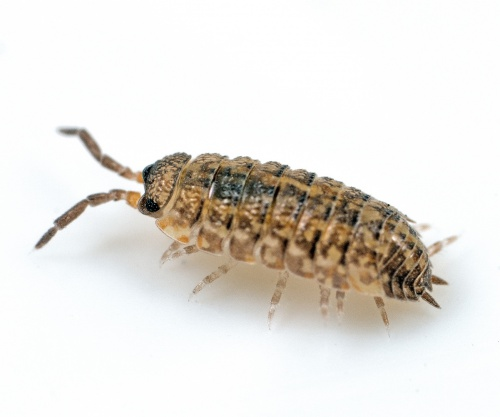 Common Rough Woodlouse Porcellio scaber