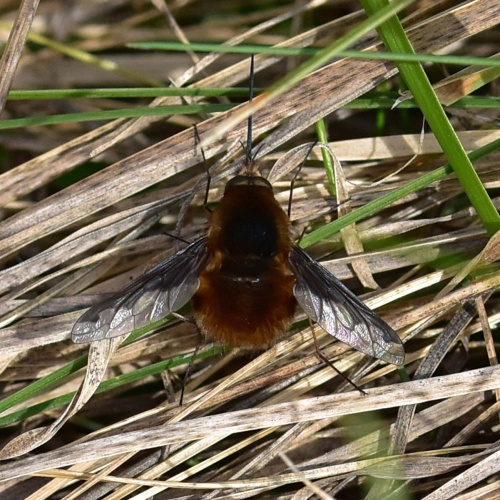 Bee Fly Bombylius major
