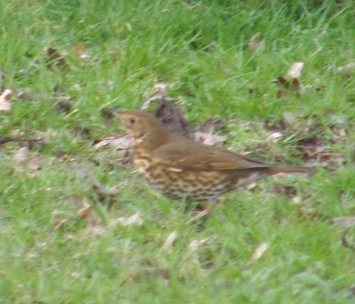 Song Thrush Turdus philomelos