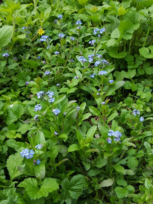 Wood Forget-me-not Myosotis sylvatica