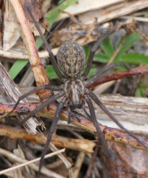 Hobo Spider Tegenaria agrestis