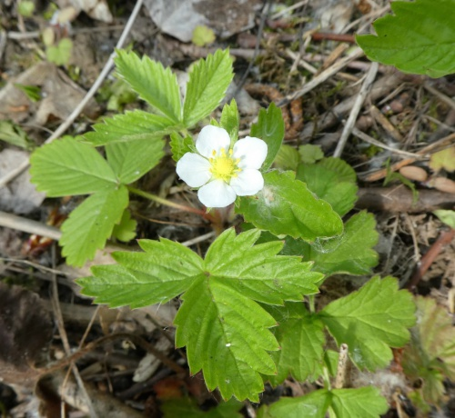 Wild Strawberry Fragaria vesca