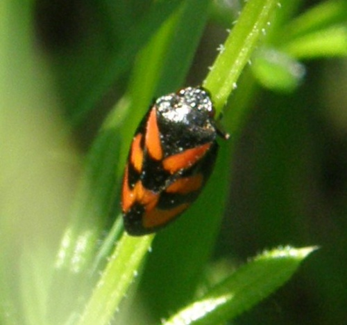 Red-and-black Froghopper Cercopis vulnerata