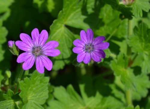 Hedgerow Crane's-bill Geranium pyrenaicum