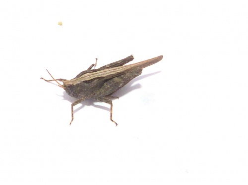 Slender Groundhopper Tetrix subulata