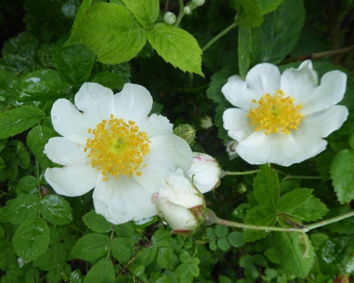 Field-rose Rosa arvensis
