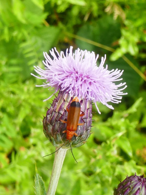 Common Red Soldier Beetle Rhagonycha fulva