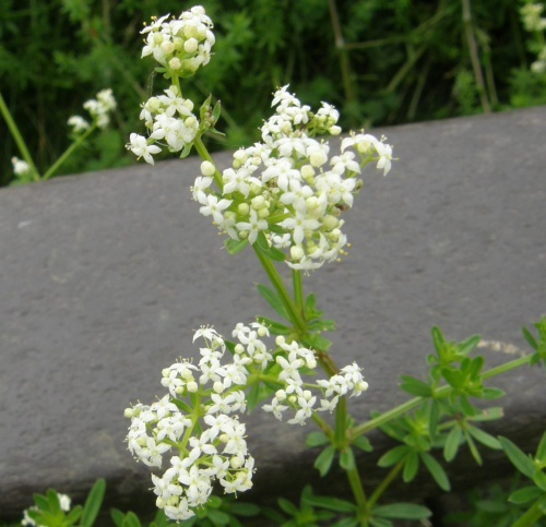 Hedge Bedstraw Galium album