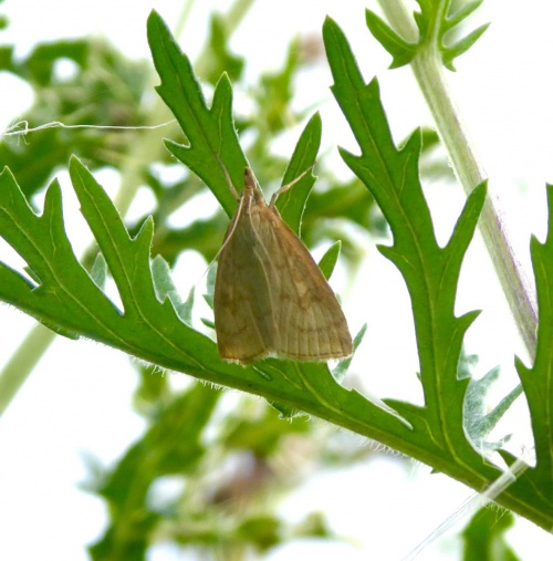 Pale Straw Pearl Udea lutealis
