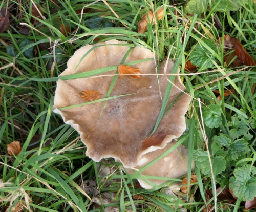 Clouded Funnel Clitocybe nebularis