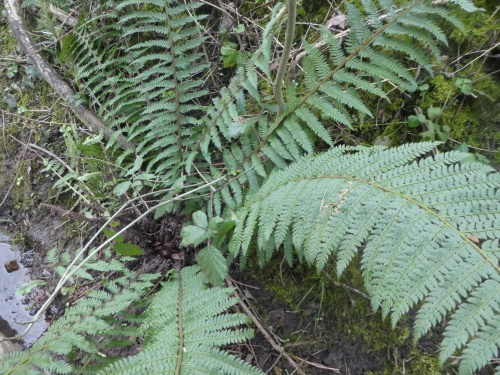 Soft Shield Fern Polystichum setiferum
