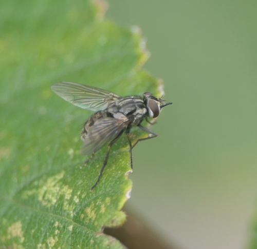Stable Fly Stomoxys calcitrans