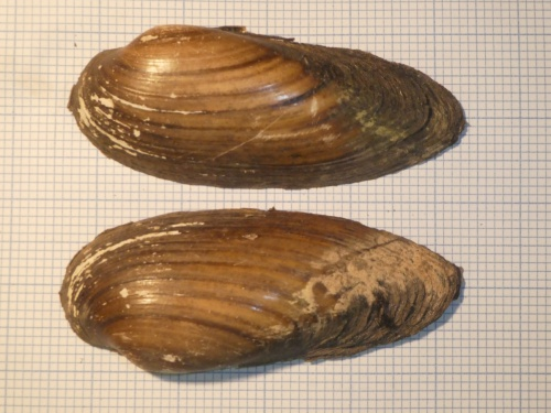 Painter's Mussel Unio pictorum