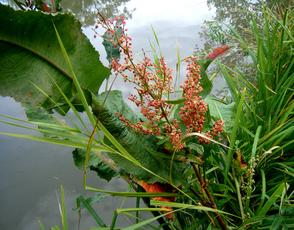 Water Dock - Rumex hydrolapathum - Graham Calow - Wykin Canal - 09 September 2010