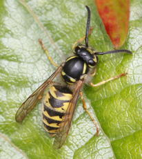 Vespula vulgaris - David Nicholls - Abbey Park - 19 September 2010