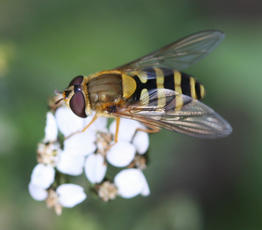 Syrphus ribesii - David Nicholls - Abbey Park - 19 September 2010 - female