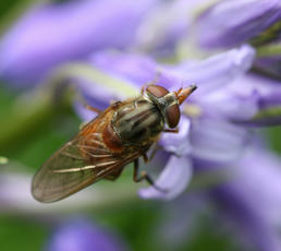 Rhingia campestris - David Nicholls - County Hall, Glenfield - 19 May 2010