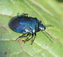 Blue Shieldbug - Zicrona caerulea - David Nicholls - County Hall, Glenfield - 01 September 2010