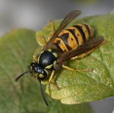 Common Wasp  - Vespula vulgaris - John Cranfield - Fleckney Garden1 - 18 September 2004