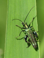 Swollen-thighed Beetle  - Oedemera nobilis - David Gould - Narborough Bog NR - 16 June 2010 - male