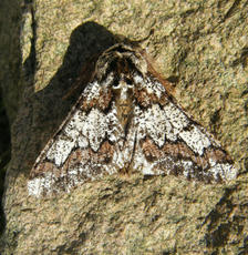 Oak Beauty  - Biston strataria - Graham Calow - Sapcote garden1 - 13 March 2011