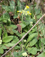 Primula veris - David Nicholls - Jubilee Walk, Leire - 29 March 2011