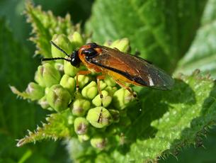 Turnip Sawfly  - Athalia rosae - Lostash - Whetstone Village Fields/Footpath - 25 April 2011