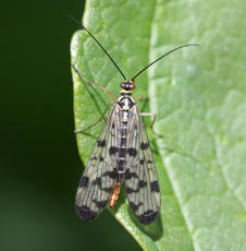 Panorpa communis - David Nicholls - Narborough Bog - 02 May 2011