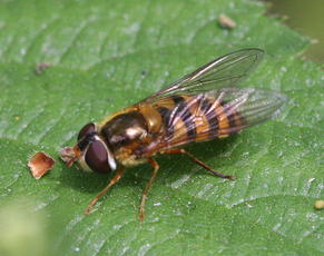Syrphus ribesii - David Nicholls - Highway Spinney - 05 May 2011
