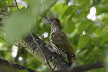 Green Woodpecker - Picus viridis - Jonesboy1 - Broughton Astley - 30 June 2010 - juvenile