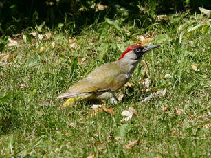 Green Woodpecker - Picus viridis - Jonesboy1 - Broughton Astley - 12 May 2010 - female